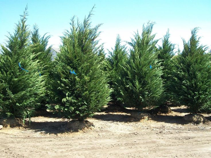 Leyland Cypress Are Back At Arrowhead Nursery Just In Time For Your Spring Planting