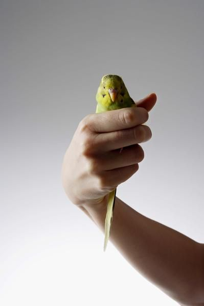 How to hold a budgie gently