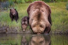 A picture of maternal patience: Brown bear carries her cub across a river on her back because the youngster is afraid of the water | Daily Mail Online