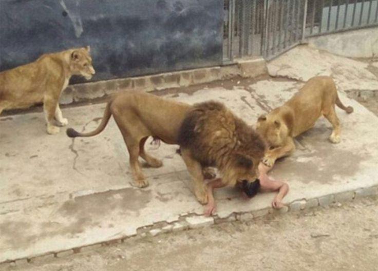 Un hombre de 20 años de edad, se quitó la ropa y se rompió en un recinto de león en el zoológico de Santiago, donde fue mutilado por los leones