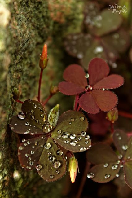 Oxalis rubra. Being a gardener I hate this plant as one of worst weeds! But it's so beautiful :)