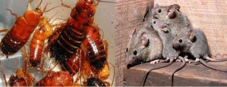 Qualiano, la psicosi delle blatte e dei ratti, sta togliendo il sonno ai qualianesi