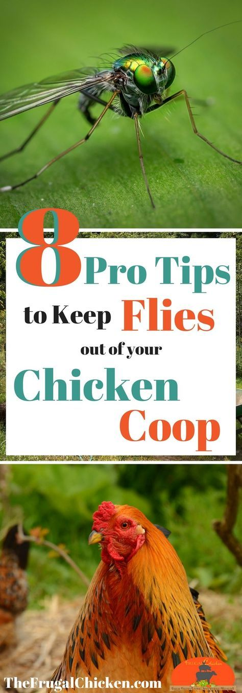 With warmer weather....comes flies. And flies in your chicken coop. Gross! Here's how to get rid of them and keep them out!
