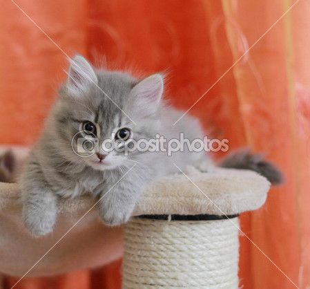 Cucciolo di siberiano versione gatto, blu — Immagini Stock @depositphotos #kittens #pets #animals #cute #gatti #whelp #little #feline#puppies #siberian #meow #cubs #cats  #30981565