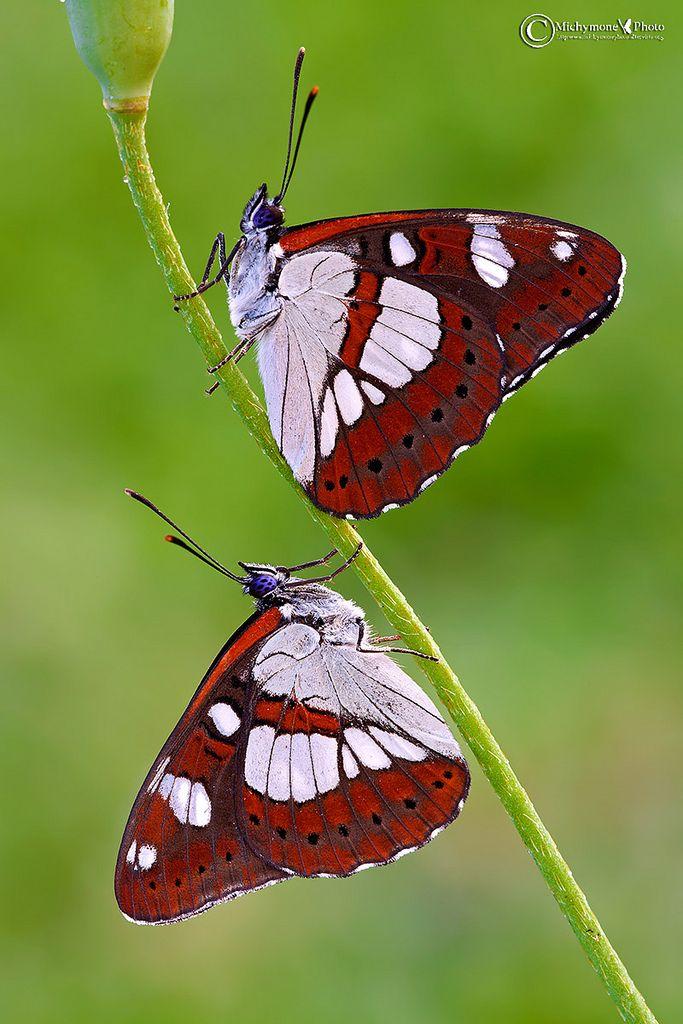 Limenitis reducta (Staudinger 1901) Silvano azzurro Ali anteriori 23-27 mm Descrizione Elegante lepidottero dalle parti superiori nere con vistose macchie rettangolari bianche e una serie marginale di piccole chiazze blu. Le inferiori, hanno colore di fondo rossiccio con una fascia basale grigia e una larga banda centrale bianca. I sessi sono simili; l'apertura alare è circa 45-55 cm. Biologia Passa l'inverno allo stadio larvale per riprendere in primavera l'attività nutrendosi di caprifo...