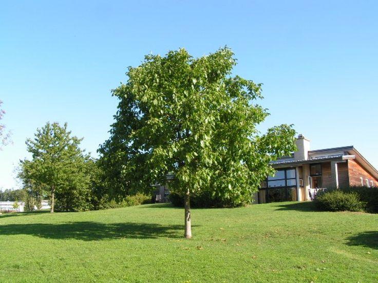 Juglans regia broadview walnotenboom 8mtr hoog kroon 4 for Mtr landscape architects