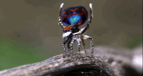 Dr Jurgen Otto is a Sydney-based entomologist who takes incredible videos and photos of all the different types of peacock spiders. | These Newly Discovered Spiders Are Actually Really Beautiful