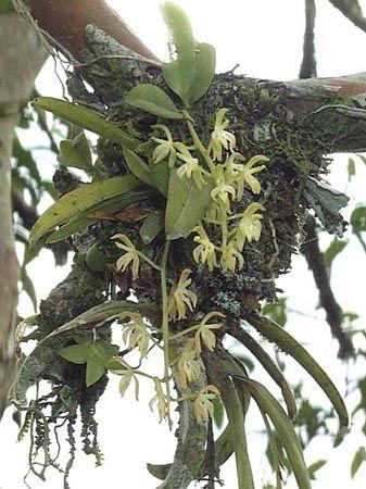 piante epifite -che crescono su altre  Cerca con Google