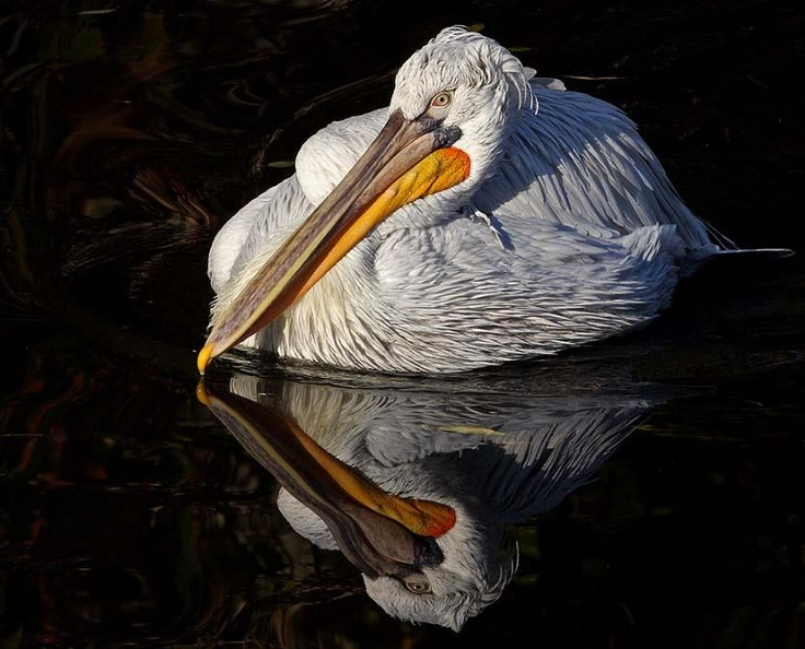 Pelican nature animals of all kinds pinterest for Cama 0 90 x 1 90