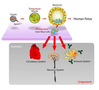 Stem cell - Wikipedia, the free encyclopedia