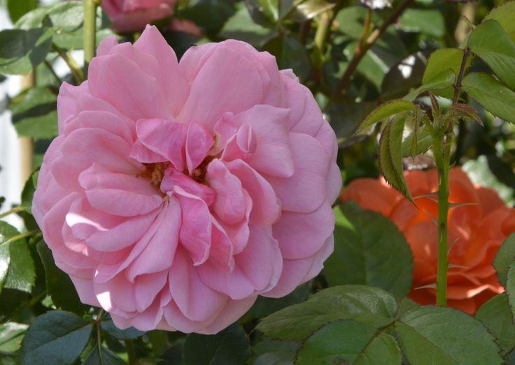 Róża Bailando