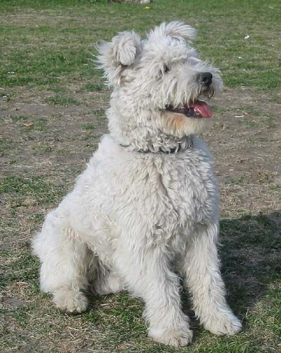 pumi dog photo | pumi | Pumi & hungarian dogs