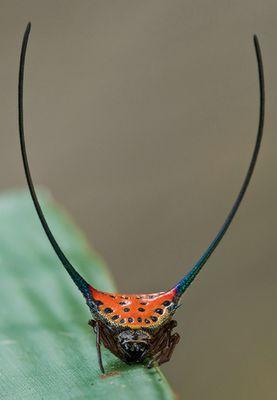 Spiny Orb Weaver  image crediy: Kurt (orionmystery.blogspot.com)