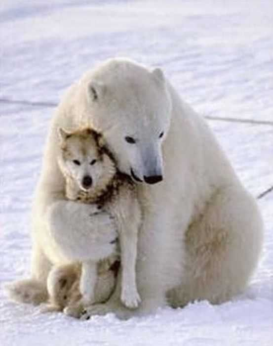 ours blanc et loup