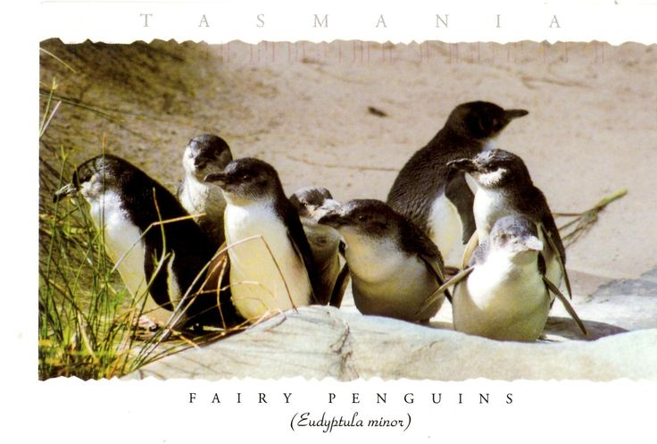 Fairy Penguins (Eudyptula minor) from Tasmania, Australia