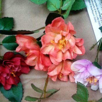 rózsaszín vadrózsa