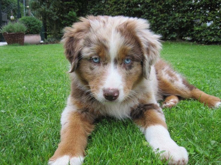 The Red Merle colourway in the Australian Shepherd is adorable, as are most of the colours this beautiful breed comes in...