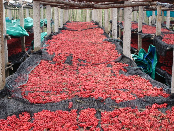 In Laiaoning province, China, Schisandra berries dry on racks at harvest time. Scisandra is a major traditional Chinese medicine, and its harvesting is big business in Liaoning. Photo by Chris Kilham