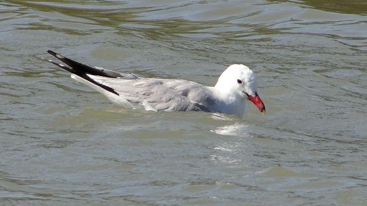 Audouin's gull / Middelhavsmåke / Ichthyaetus audouinii. Mallorca, Spain. June 2016