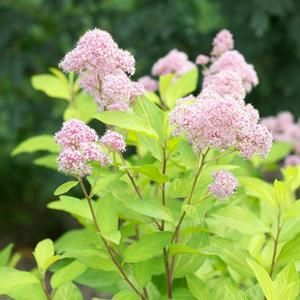 High Quality Buy Ceanothus Marie Gold Shrubs Online. Garden Crossings Online Garden  Center Offers A Large Selection