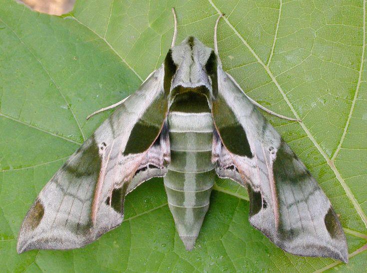 Eumorpha pandora photographed by David Beadle in Wilson Tract, Norfolk County, Ontario, Canada