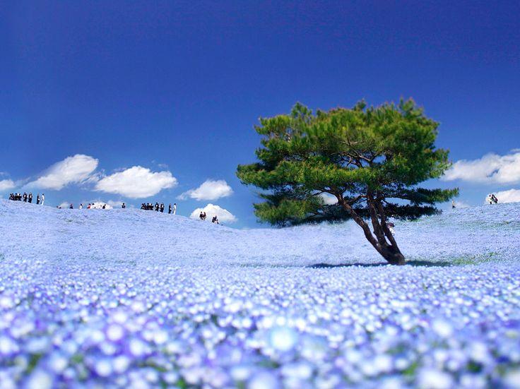 Hitachi Seaside Park http://www.jnize.com/en/article/100000125/