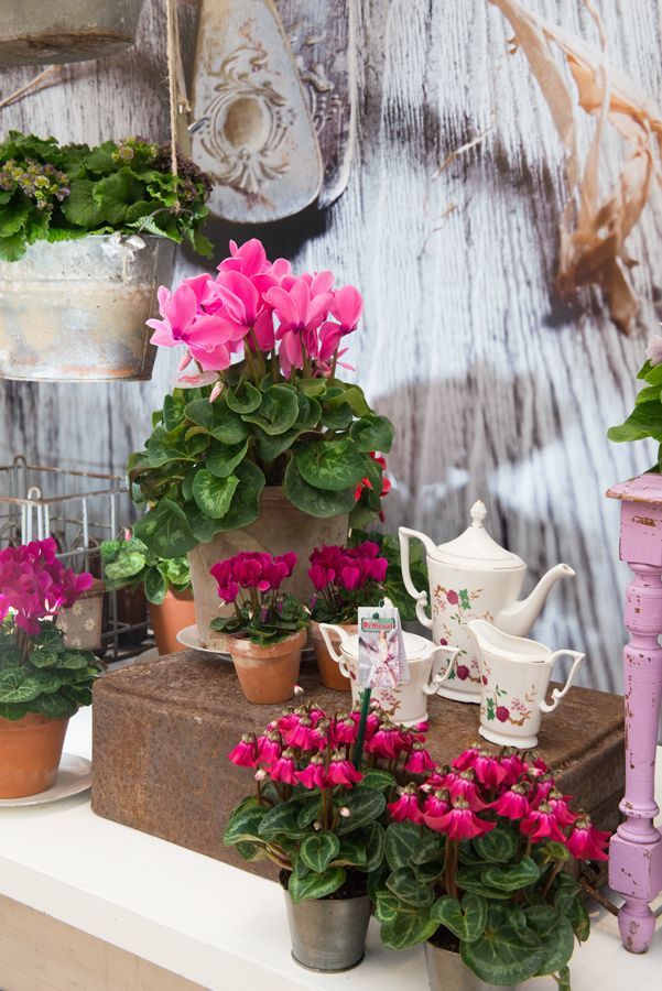 living with cyclamen