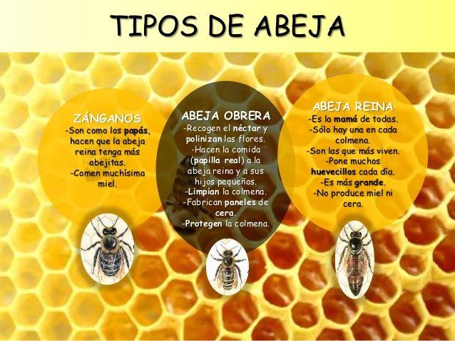 TIPOS DE ABEJA ZÁNGANOS -Son como los papás, hacen que la abeja reina tenga más abejitas. -Comen muchísima miel. ABEJA OBR...