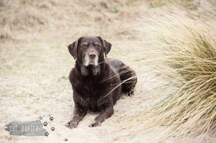 Hondenfotograaf Wassenaar - Labrador Apple-10