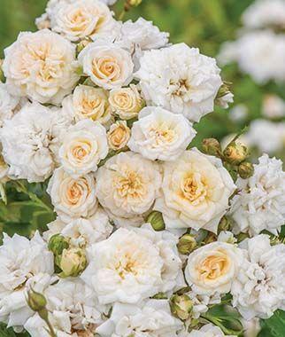 Rose, White Drift.'White Drift' Rose is elegance at its finest.