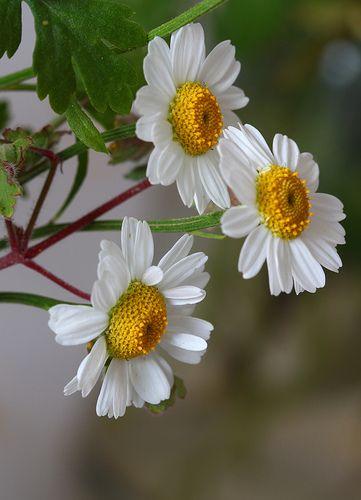 Pretty Margarita Flowers