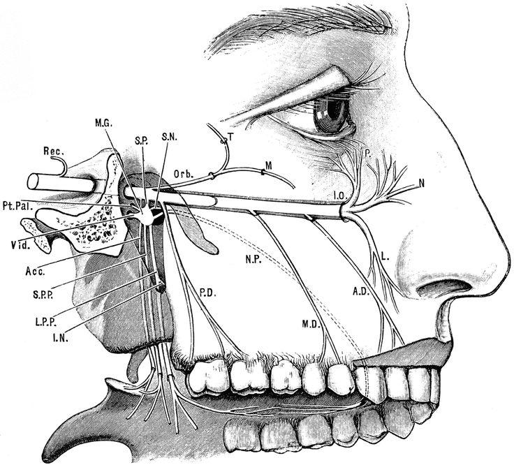 maxillary nerve v1 of trigeminal