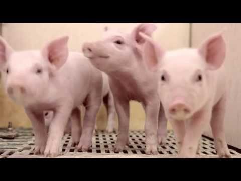 O PX derruba a crença universal de que leitões não bebem água nos primeiros dias de vida e diminui 30%, em média, a taxa de mortalidade dos porquinhos. O produto começará a ser comercializado no Brasil no ano que vem.