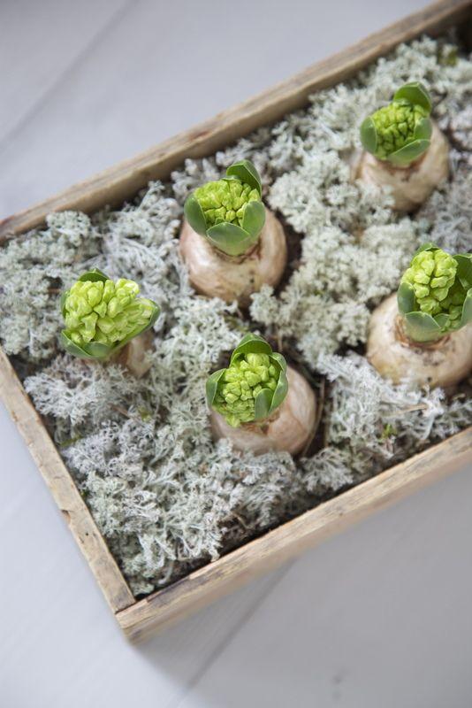Kistje met hyacinten.