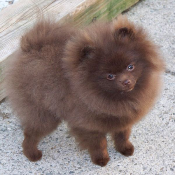 Black Pomeranian Painting