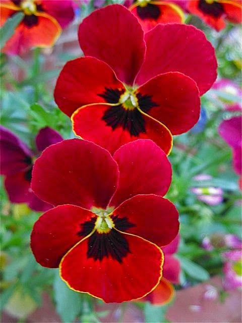 Start planning your winter trough displays. Our artificial pansies are everything you need to make a stunning winter display. Various colours