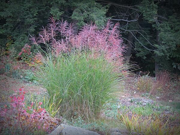 Miscanthus ornamental grass has different looks depending for Tall purple ornamental grass