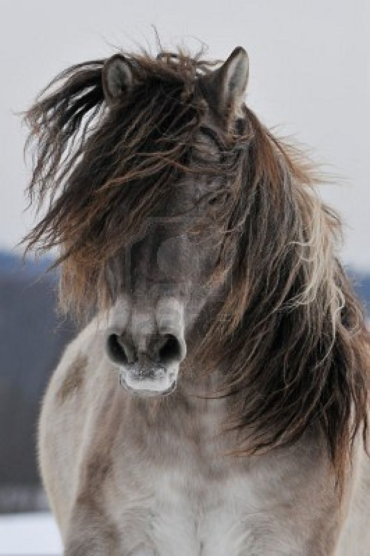 The Yakut - A Mongolian type pony covered in long,thick hair. Deep chested, heavily built and long in the back, about 13hh. Usual colour is greyish or mouse with darker  crossing stripes on the shoulders.