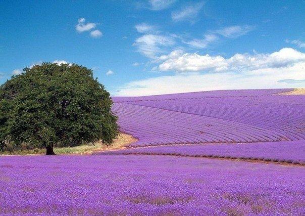 Лавандовые поля во Франции - Путешествуем вместе