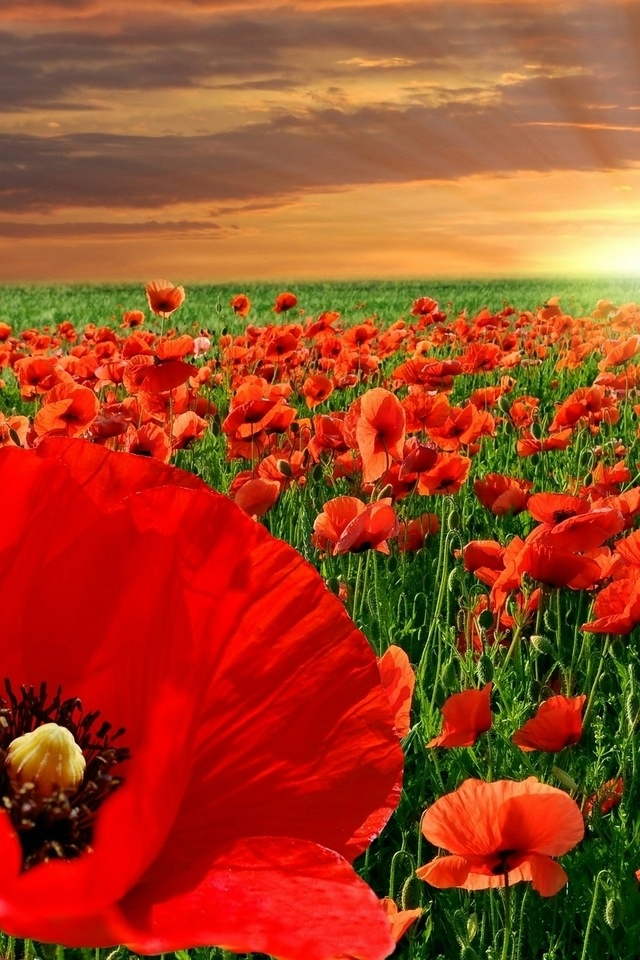 A  field of red poppies ~