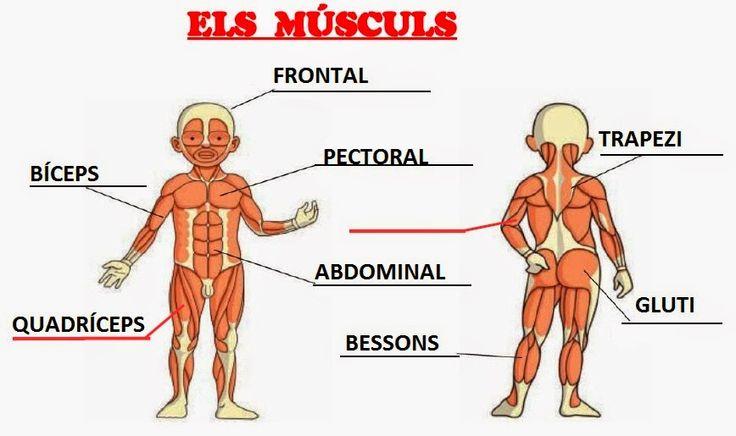 Músculs Educació Física a l'Escola Frederic Godàs