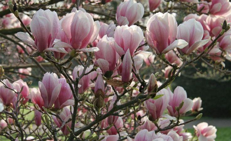 Wer Magnolien im Garten hat, der weiß, dass die Gehölze je nach Art und Sorte ziemlich breit werden können. Hat man die Größe seines Blütenstrauchs unterschätzt, muss man irgendwann zur Schere greifen und die Magnolie schneiden, damit die Krone schmaler wird. So gelingt es ohne den wertvollen Blütenstrauch dabei zu entstellen.