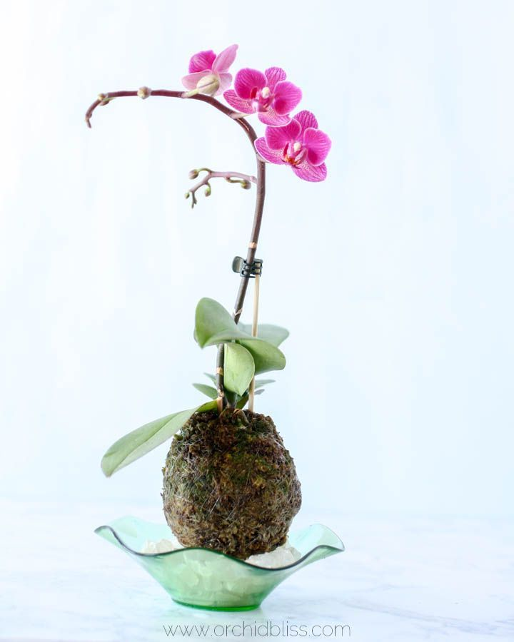 Flowering Kokedama Orchid About 4 Months After Potting Kokedama Style This Orchid Is Showing Us What She S Got Orchid Plants Orchid Plant Care Orchids