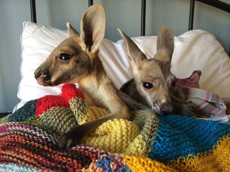 Australian Man Dedicates His Life to Rescuing Orphaned Kangaroos in the Outback. Possum and Bertie. Kangaroo Dundee Ep ...