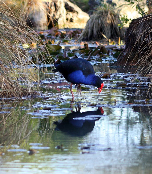 Pukeko bird,often found on pastures and near water throughout much of New Zealand. . .(sometimes called a swamp hen).