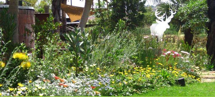 A burst of colour in the Fynbos garden. A very low maintenance garden.