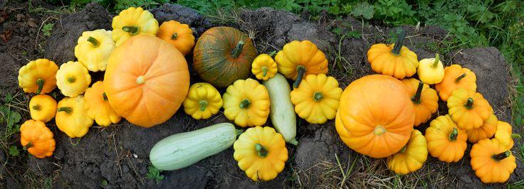 Урожай 2013, тыквы, патисон, грядка