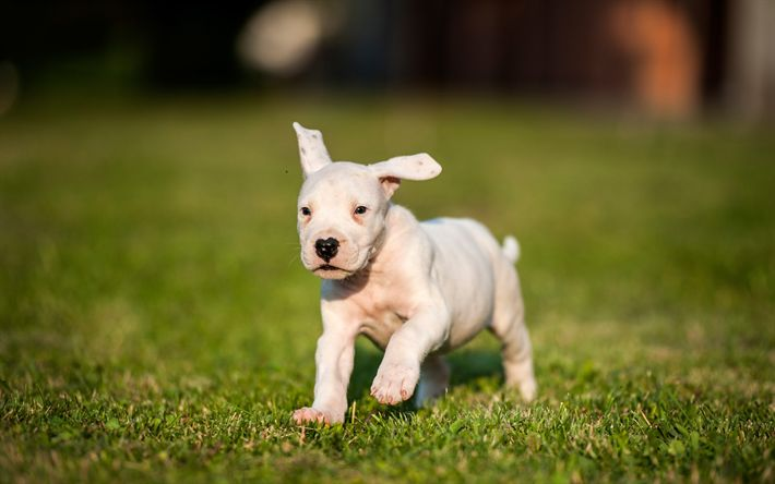 Download Wallpapers Dogo Argentino 4k Argentinian Mastiff Small White Puppy Cute Little Animals Pets Dogs Argentine Dogo Besthqwallpapers Com Cute Little Animals Animals Cute Animals