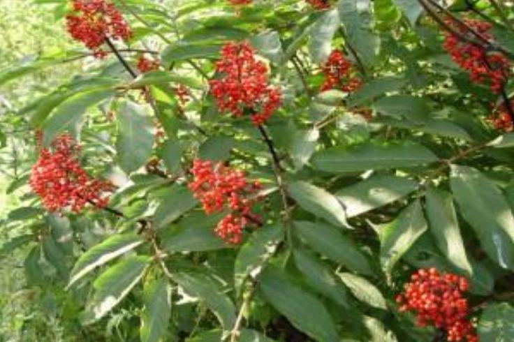 Spikenard (Nardostachys jatamansi/grandiflora) Wild Crafted Essential Oil