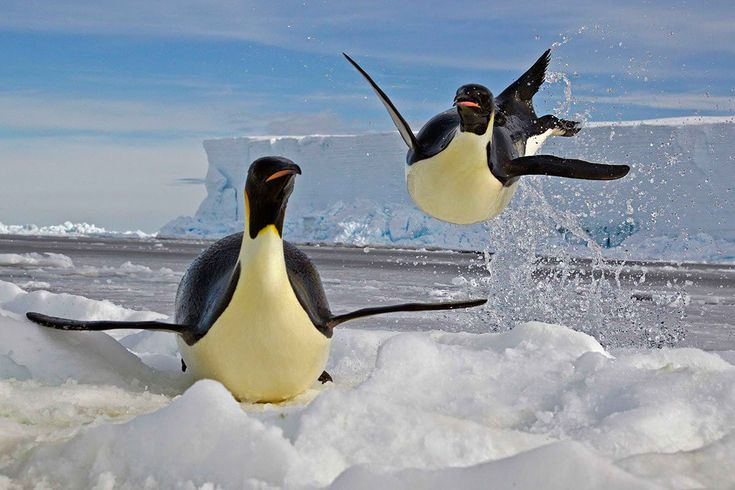 Картинка про пингвина илью